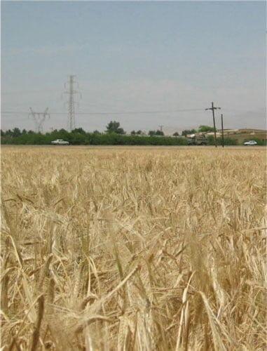 شکل ۲ - مزرعه جورقم ماهور