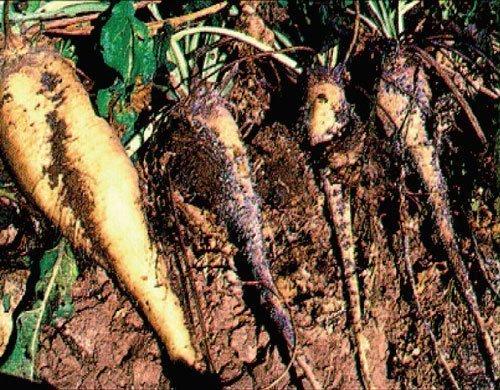 شکل ۲: مقایسه ریشه چغندرقند سالم (سمت چپ) با ریشه آلوده بهشته ریشه (سمت راست)