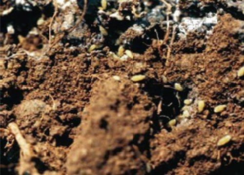 شکل ۳: شته ریشه در روی خاک، به بخش های سفید مومیتوجه کنید.