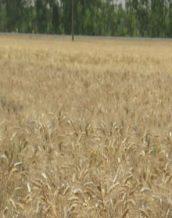 گندم دهدشت مناسب کشت در شرایط دیم نیمه گرمسیری