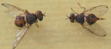 شکل ۱- حشره ماده (سمت راست) و نر (سمت چپ)کامل مگس میوه زیتون