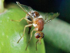 آفت مگس زیتون و روش های کنترل