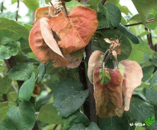 بیماری آتشک درختان میوه دانه دار