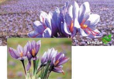 آشنایی با زراعت زعفران