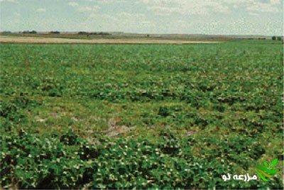لکه های آلوده به نماتد سیست چغندرقند دارای گیاهانکوچک و کم رشد در مزرعه چغندرقند