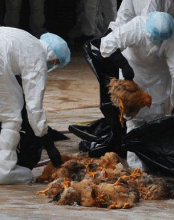 هشدارهای بهداشتی بیماری آنفلوآنزای پرندگان