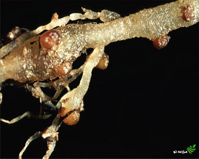 توده های تخم به رنگ قهوه ای روی غده های ریشه