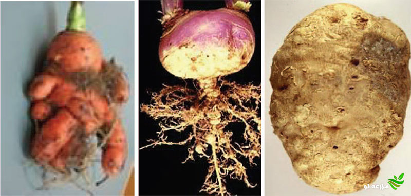 علایم گره روی غده سیب زمینی، ریشه شلغم و هویج
