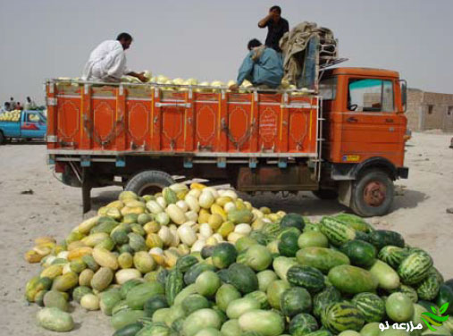 کشت خربزه در استان سیستان و بلوچستان