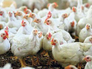انتخاب بهترین وزن مرغ گوشتی با مدت پرورش 42 روزه
