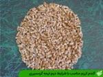 گندم کریم مناسب با شرایط دیم نیمه گرمسیری