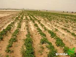 کشت پاییزه و زمستانه سیب زمینی در سیستان و بلوچستان
