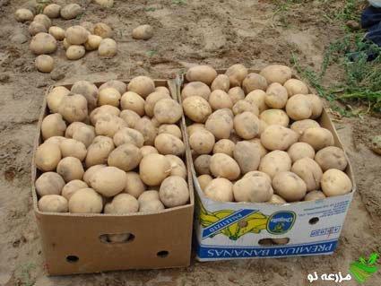برداشت سیب زمینی رقم آریندا در استان