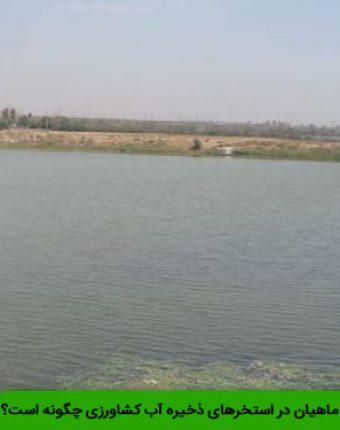 پرورش کپور ماهیان در استخرهای ذخیره آب کشاورزی چگونه است؟
