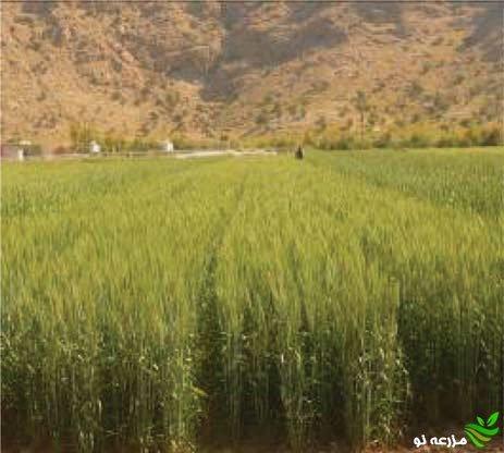 مزرعه ازدیاد بذر رقم قابوس