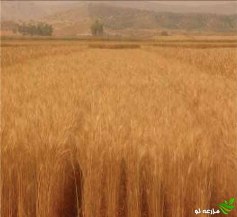 مزرعه گندم قابوس