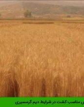 گندم قابوس مناسب کشت در شرایط دیم گرمسیری