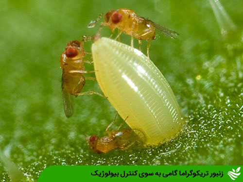زنبور تریکوگراما گامی به سوی کنترل بیولوژیک
