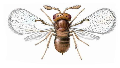 شکل شناسی زنبور تریکوگراماء