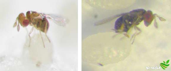 زنبور تریکوگراما در حال پارازیته کردن تخم