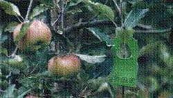 کنترل بیولوژیک در باغات سیب با استفاده از زنبور تریکوگرما