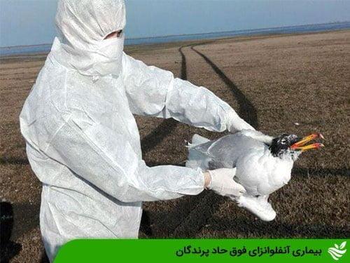 بیماری آنفلوانزای فوق حاد پرندگان