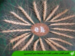 گندم آفتاب مناسب کشت در شرایط دیم گرمسیری