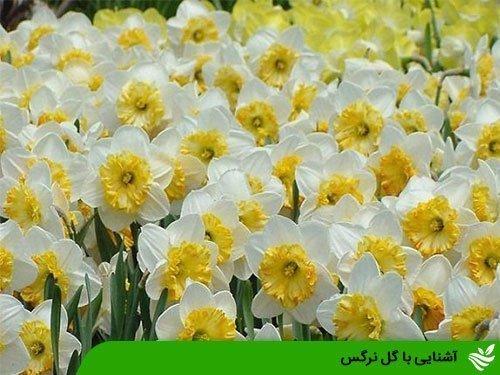 آشنایی با گل نرگس