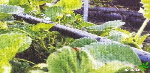 سیستم آبیاری موضعی با استفاده از نوار تیپ