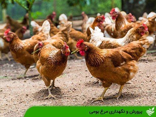 پرورش و نگهداری مرغ بومی