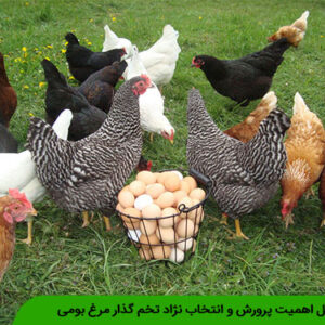 دلایل اهمیت پرورش و انتخاب نژاد تخم گذار مرغ بومی