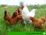 نکات مهم در پرورش مرغ بومی