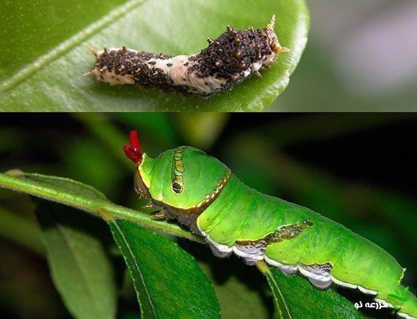 آشنایی با پروانه برگخوار مرکبات