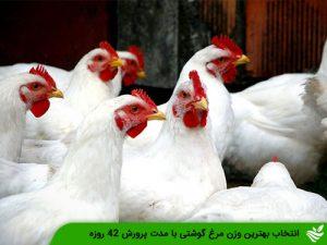 انتخاب بهترین وزن مرغ گوشتی با مدت پرورش ۴۲ روزه