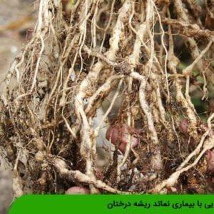 آشنایی با بیماری نماتد ریشه درختان