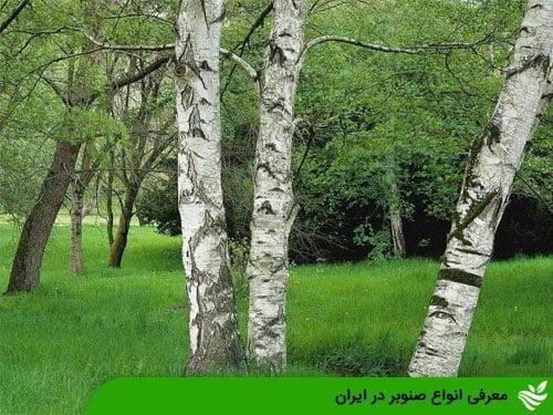 معرفی انواع صنوبر در ایران