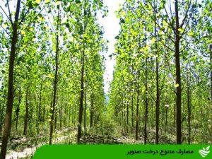 مصارف متنوع درخت صنوبر
