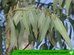 اکالیپتوس کامالدولنسیس درختی ارزشمند برای زراعت چوب