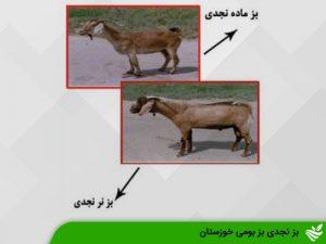 بز نجدی بز بومی خوزستان