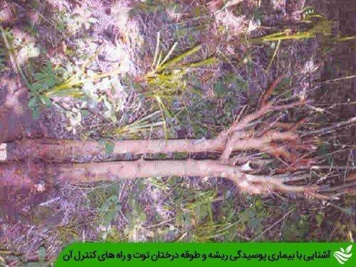 آشنایی با بیماری پوسیدگی ریشه و طوقه درختان توت و راه های کنترل آن