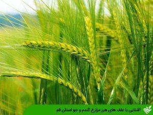 آشنایی با علف های هرز مزارع گندم و جو استان قم