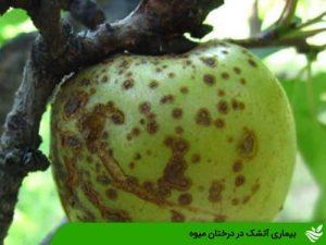 بیماری آتشک در درختان میوه