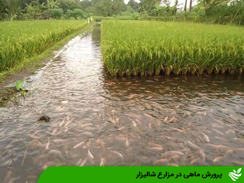 پرورش ماهی در مزارع شالیزار