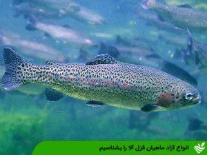 انواع آزاد ماهیان قزل آلا را بشناسیم