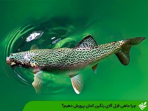 چرا ماهی قزل آلای رنگین کمان پرورش دهیم؟