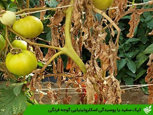 کپک سفید یا پوسیدگی اسکلروتینیایی گوجه فرنگی
