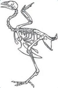 استخوان بندی مرغ