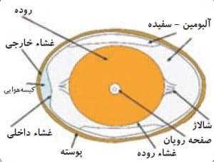 مراحل تشکیل تخم پرنده