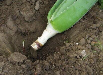 گیاه شناسی تا فرآوری گیاه آلوئه ورا (صبر زرد)