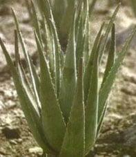 خواص دارویی و بهداشتی گیاه صبرزرد (آلوئه ورا)